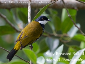 2Scaly Breasted Bulbul2-imp