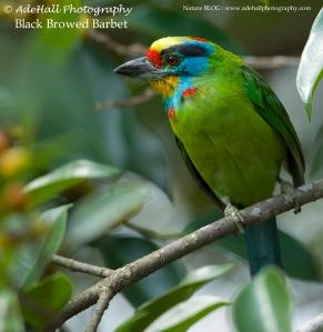 Black Browed Barbet-imp