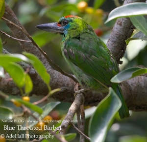 Blue Throated Barbet-imp
