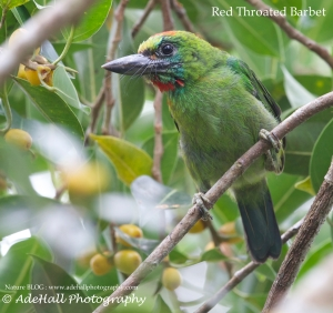 Red throated Barbet-imp