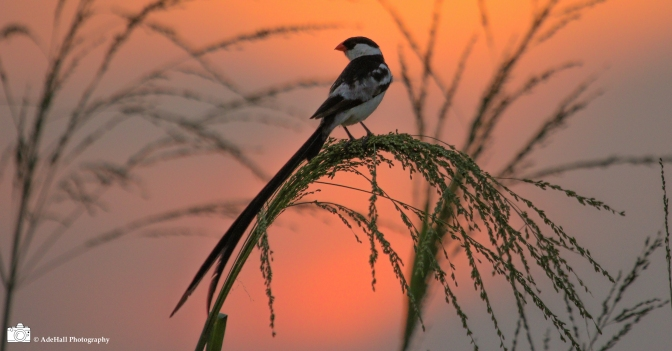 The sun sets on the breeding Whydah for another year…